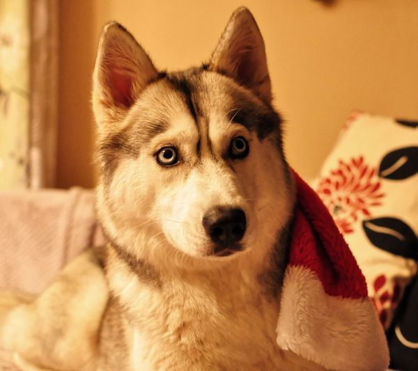 Blue Eyes Portrait Of A Woman Santa Animal Themes Close-up Day Dog Domestic Animals Husky Indoors  Looking At Camera Mammal No People One Animal Pets Portrait Siberian