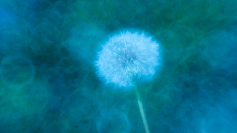Backgrounds Beauty In Nature Blue Close-up Dandelion Day Flower Flower Head Flowering Plant Fragility Freshness Marine Nature No People Outdoors Plant Small Softness Turquoise Colored Vulnerability  White Color