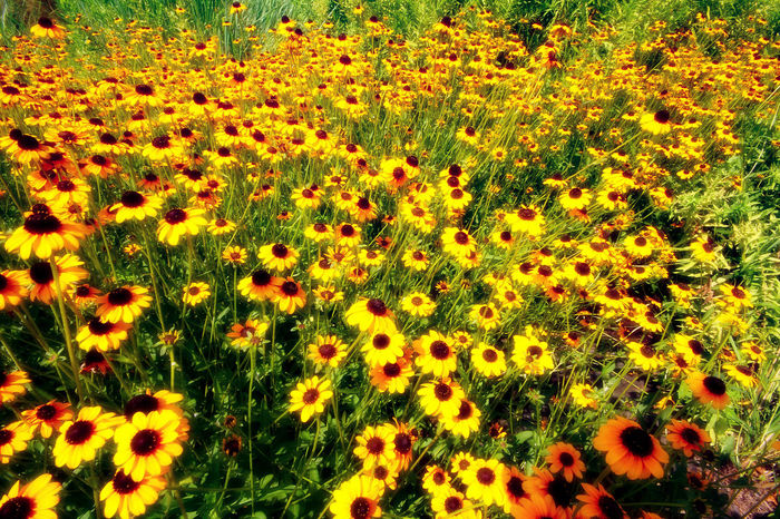 Carpet of yellow Daisies Backgrounds Beauty In Nature Black Eyed Susans Close-up Day Field Flower Flower Head Fragility Freshness Grass Growth Landscape Nature No People Outdoors Plant The Natural World Yellow