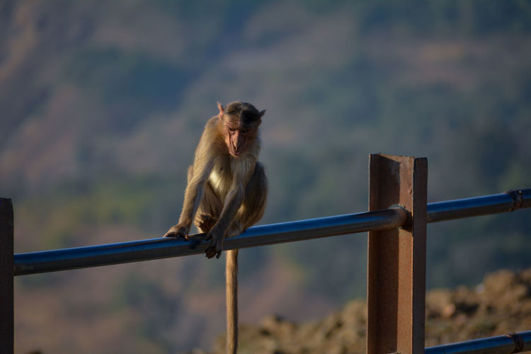 Monkey on railing against blurred background
