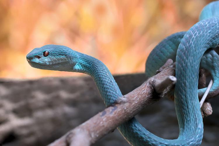 Close-up of a blue insularis viper snake