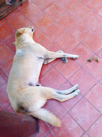 Sleepy dog Sleep Dog On Red Floor Near Pole Ground Floor Afternoon Sleep Brown Dog Day Nap Happy Sleepy Deep Sleep Nakornchaisri Thailand