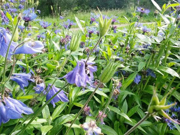 Growth Flower Nature Plant Purple Beauty In Nature Fragility No People Blooming Outdoors Freshness Day Flower Head Corn Flowers Kornblumenfeld Kornblumen Blue Flowers Blue Nature Photography Nature_collection Nature_perfection Natural Pattern Backgrounds Natural Photography Natural Parkland