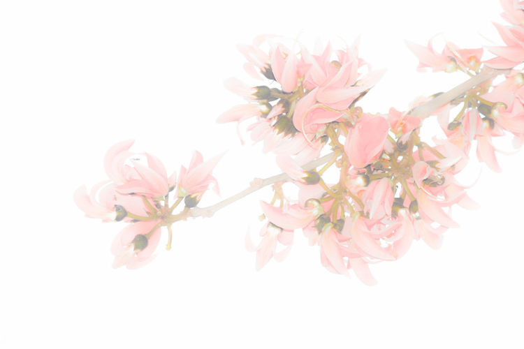 Flowering Plant Flower Pink Color Freshness Plant Fragility Vulnerability  Beauty In Nature Studio Shot White Background Petal Close-up No People Growth Nature Flower Head Blossom Inflorescence Branch Indoors  Springtime Cherry Blossom Bunch Of Flowers Cherry Tree Flower Arrangement