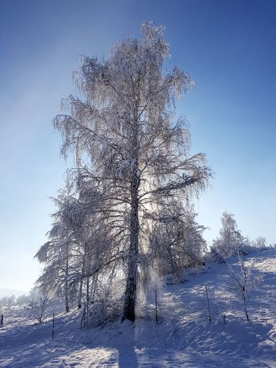 brich snow Brich Tree Snow ❄ Brich Tree Brich Wintertime Cold Coldtemperature Day Outdoors Sky No People Low Angle View Pixelated Close-up Tree Nature