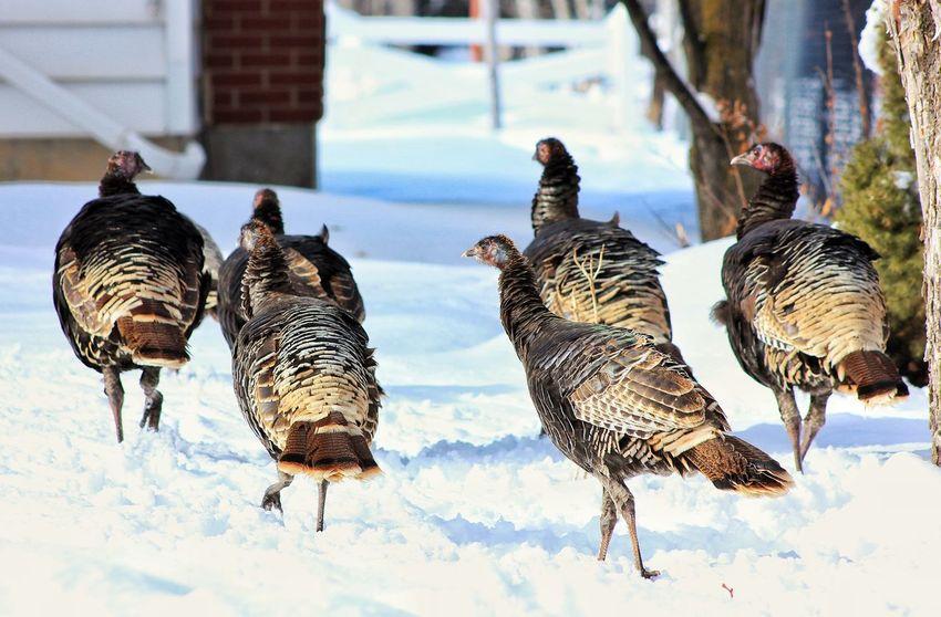 Wild Turkeys Birds Winter Scene