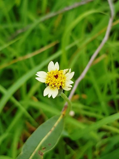 wild flower - tiny yellow Rainforest Australia Beauty In Nature Day Petal Focus On Foreground Outdoors No People Grass Green Color Close-up