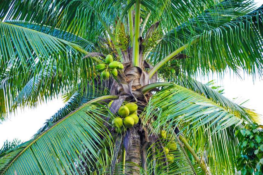 Agriculture Asian  Background Coconut Coconut Palm Tree Coconut Trees Electrolite Electrolytes Fronds Green Growth Leaves Midrib Milk Textures And Surfaces