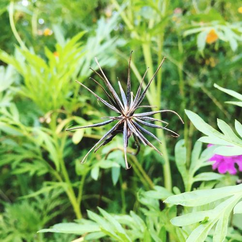 Cosmos Seed Cosmos Seed