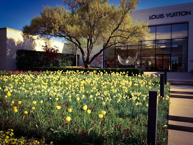 Northpark Mall center courtyard in Dallas Texas. Beautiful yellow spring tulips. Dallas Photography Random Texas Northparkcenter Eye4photography  Taking Photos Yellow Flowers Louis Vuitton Designer4life