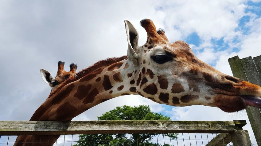 Friendly giraffe