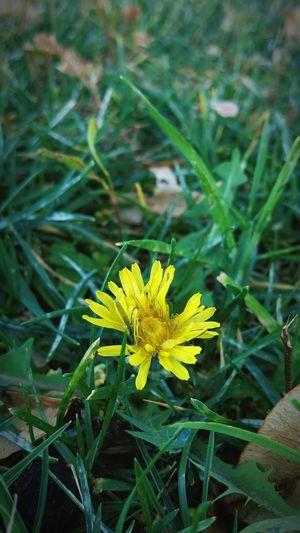 Yellow Flower Close-up Macro_collection Macro Photography Dandelion Vintage Yellow