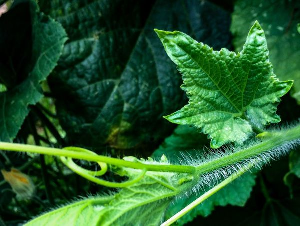 EyeEmNewHere Blackground EyeEm Nature Lover Pumpkin Plant Part Leaf Green Color Growth Plant Close-up Beauty In Nature Nature Day No People Focus On Foreground Selective Focus Outdoors Freshness Vulnerability  Sunlight Fern Water Green Fragility