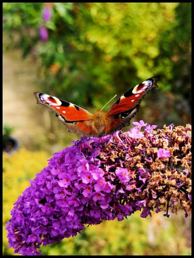 Butterfly Flower Perching Pollination Flower Head Butterfly - Insect Insect Purple Spread Wings Full Length Animal Themes Animal Antenna