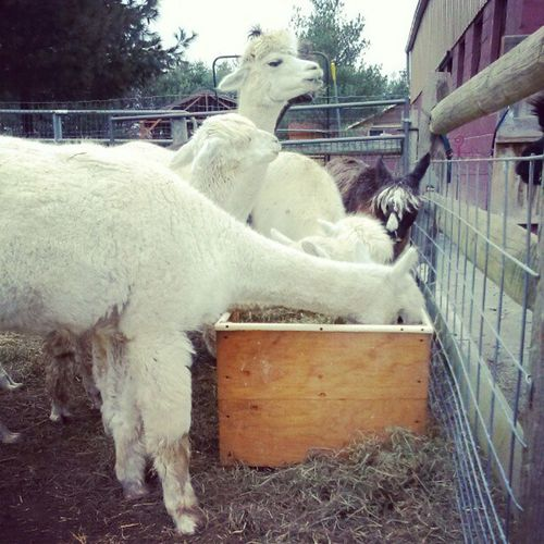Alpaca , Farmer's Life, Alpaca Farm , Alpaca Love