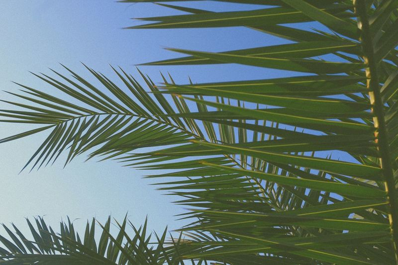 • Good vibes... Palm Tree Nature Outdoors Sky Day Summer Framing The Week On Eyem Throwbacktime Taking Photos Canoneos500D TheWeekOnEyeEM Vacation Relaxing Clearsky Lookingup