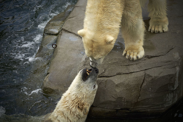 High Angle View Of Polar Bears On Rock In Lake