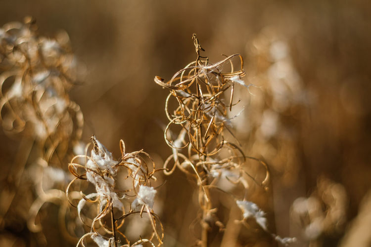 Close-up of dried flower Nature Winter Beauty In Nature Brown And Yellow Color Close-up Day Dried Flowers Dried Plant Dry Flower Flower Head Macro No People Outdoors Selective Focus Warm Colors Wintercolors