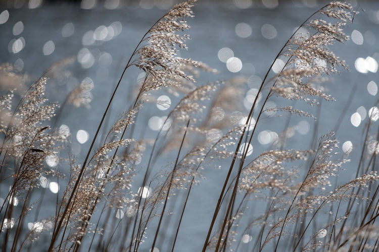 Swaying reed along the waterfront