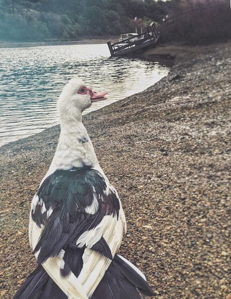 Duck duck goose Duck Wildlife Waterfowl California Lakeshore Pied Check This Out Goose Wildlife & Nature Wildlife Photography Natural Habitat