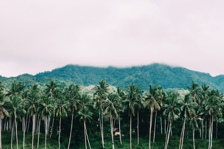 Coconut trees Agriculture Beauty In Nature Day Growth Landscape Lush - Description Mountain Nature No People Outdoors Scenics Sky Tree Beautifully Organized