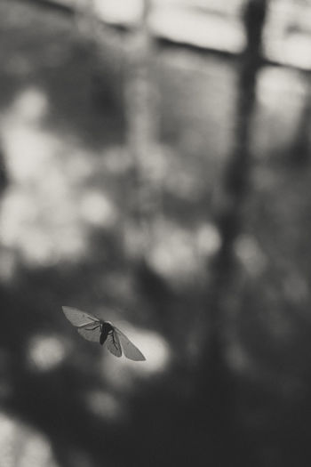 Moth on the window glass. Black and white photo. Animal Animal Themes Animal Wildlife Animal Wing Animals In The Wild Beauty In Nature Blackandwhite Day Flying Focus On Foreground Mid-air Moth Motion Nature No People One Animal Outdoors Selective Focus Spread Wings Vertebrate Window