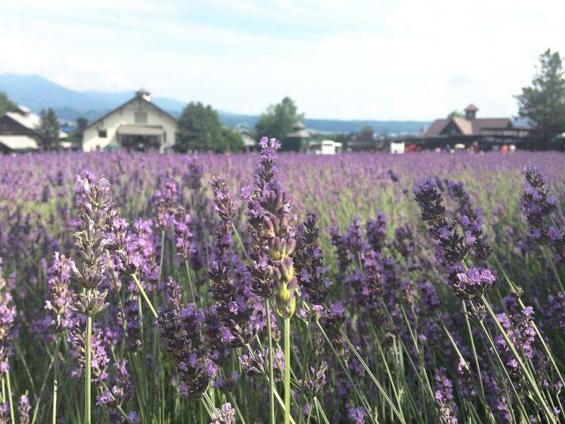 Lavander Purple Flower Tomita Farm Hokkaido Furano Japan Colour Of Life