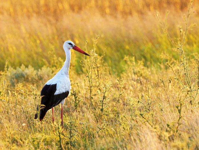 Side view of stork on grassy field