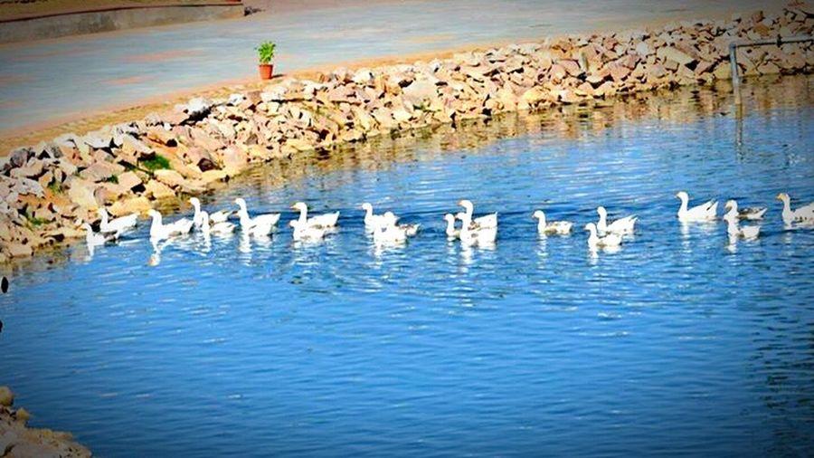 Animals Ducks