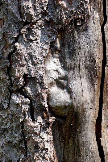 Face In The Tree Abstract Backgrounds Abstract Portrait Of A Man Backgrounds Bark Close-up Day Full Frame Growth Natural Pattern Nature No People Outdoors Pareidolia Pattern Plant Plant Bark Rough Textured  Textured Effect Tree Trunk Trunk Weathered Wisdom Of The Trees Wood - Material
