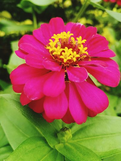 Flower Beauty In Nature Freshness Fragility Flower Head Outdoors Zinnia  Pink Color Petal Close-up Nature Leaf No People Pollen Day LoveYourself Best Day Ever Orchid One Young Woman Only Nature Passion Flower Togetherness Natural Beauty Just Be YourSelf LoveFlower🌺