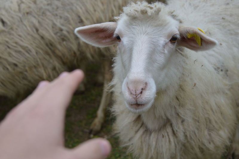 Sheep, eyes on you! Animal Animal Body Part Animal Head  Animal Photography Animal Themes Animal_collection Animals Animals In The Wild Domestic Animals Ear Eye Eyes Eyes Watching You Good Hand Hands Happy Happy People Herbivorous Nose Outdoors Sheep Sheeps Sheep🐑 Young Animal