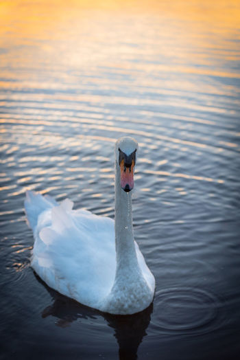 Swan at sunset with water dripping from its beak. Calm Mute Swan Peace Scotland Tranquility Animal Animals In The Wild Beauty In Nature Bird Close-up Lake Nature No People One Animal Outdoors Peaceful Ripples In The Water Sunset Swan Water Water Bird Waterfront