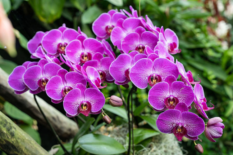 Moth orchids,
