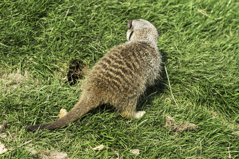 A slender tailed Meerkat next to a burrow in the grass. The Meerkat are very social animals, and are famous for standing on their hind legs, doing sentry duty and looking for predators. The scientific name is Suricata suricatta, family is Herpestidae, and order is Carnivora Animal Animal Themes Animals In The Wild Grass Mammal Meerkat Meerkat On The Grass Meerkat, Cute Animals, Furry, Animal Close Up, Yellow, Zoo, Zoo Pics, Meerkat Pics One Animal Outdoors