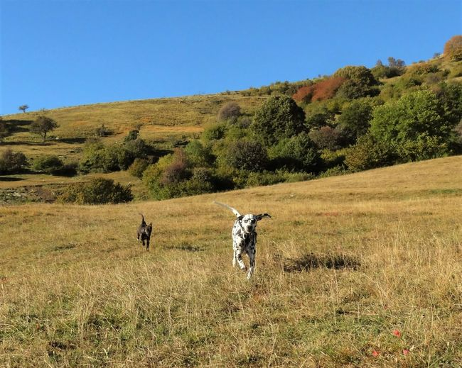 Dogs Running On Grassy Field Against Clear Blue Sky