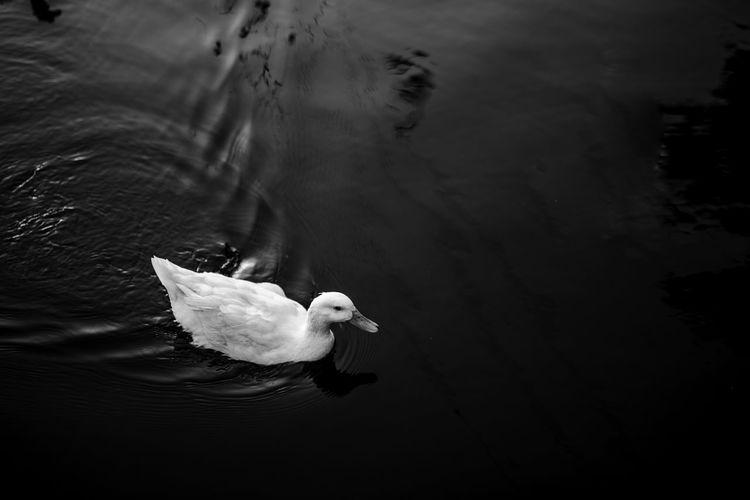 Duck Water Bird