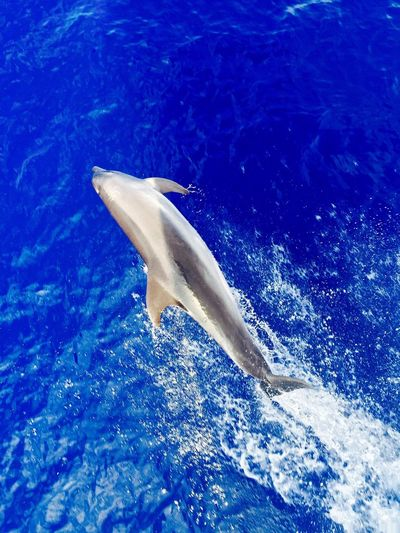 Chasing dolphins One Animal Sea Life Animals In The Wild Animal Themes Dolphin Sea No People Animal Wildlife Water Blue Day Swimming Nature Mammal Outdoors UnderSea Close-up