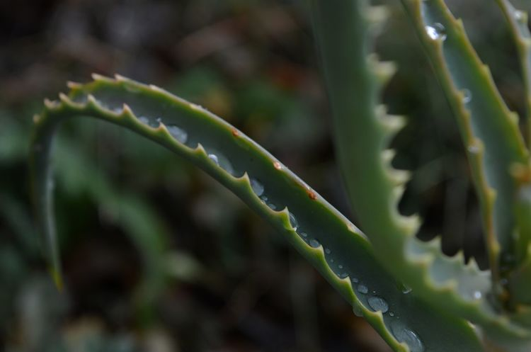 Aloe Vera Plant Aloe Aloe Leaf Aloe Vera Leaf Raindrops After The Rain Spiky Spikes Leaf Close-up Plant Green Color Succulent Plant Thorn Spiked Needle - Plant Part
