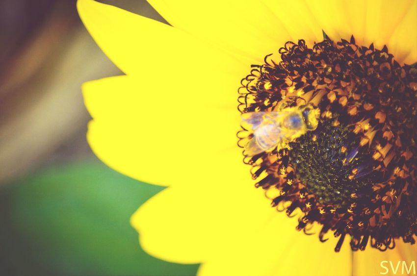 Sunflower Sunriseporn Yellow