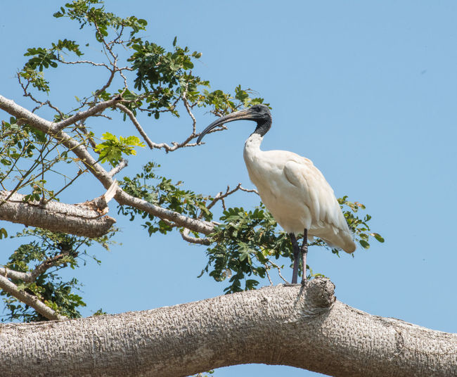 Large Black-headed Ibis perched in tree under a clear blue sky in Darwin, Australia Bird Animal Themes Animal Vertebrate One Animal Animals In The Wild Animal Wildlife Low Angle View Sky Clear Sky Branch Tree Day Nature No People Tropical Bird Tropical Branches Clear Sky Blue Feather  Avian Birdwatching Ornithology  Ibis Beak Plumage Leg Sunny Perching White Color Outdoors Sunlight Black Bald Head Curved  Curved Beak Black-headed Ibis Isolated Natural Habitat Profile View Animal Eye Neck Two Tone Black And White Perched Darwin Northern Territory Australia Australian Wildlife
