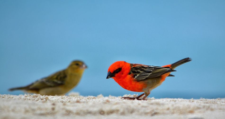 Birds Red Bird Bird Photography Birds_collection Birds Of EyeEm  Beautiful Nature Beauty In Nature EyeEm Best Shots - Nature Beautiful Beach EyeEm Nature Lover Bird Watching Naturelovers Nature Photography Animals Chris Mat Nature_collection Nature Photographer Chris Mat Mauritius Island  Sand EyeEm Best Shots Beach Life Beachphotography