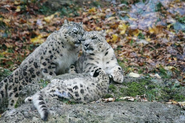 Animals In The Wild Animal Wildlife Nature Animal Themes One Animal Day Mammal Outdoors No People Safari Animals Close-up Leopard Snowleopard Schneeleopard Family Leopardbaby Leopard Love ❤️❤️ Animalfamily Animalbaby