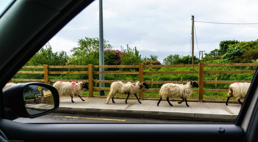 Feel The Journey now this is something you dint see everywhere. Ireland Car Travel Sheep Mein Automoment