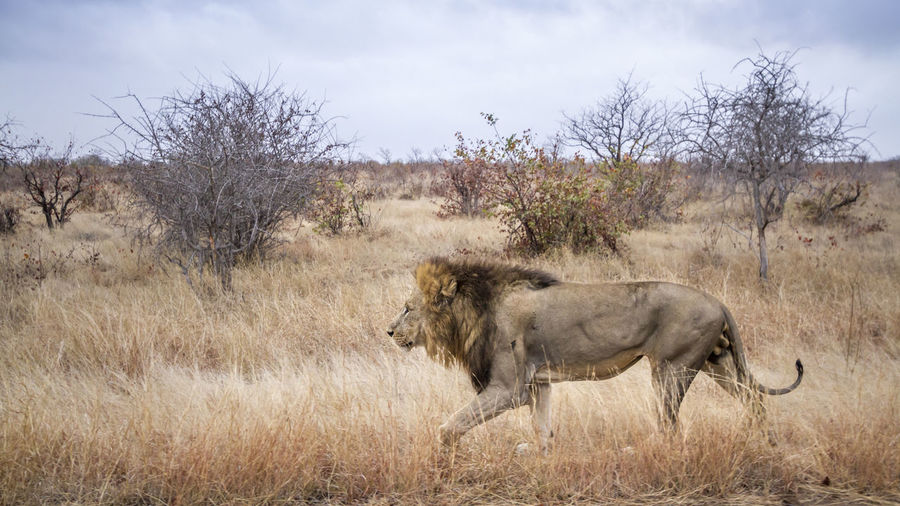 Side view of lion walking on grassy land against sky
