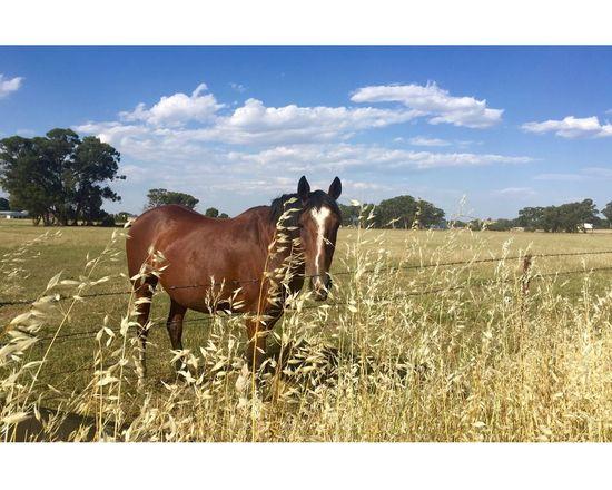 Steve the Horse Countryside Horses Horses, FarmLife Country Countryvictoria