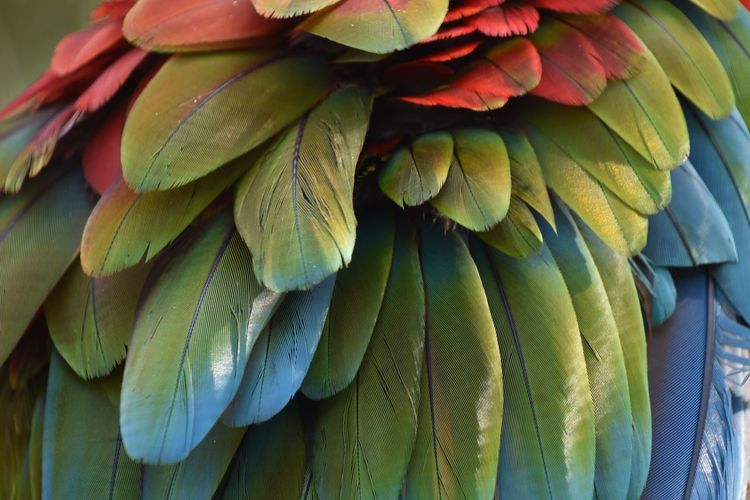 Close-up of parrot feathers