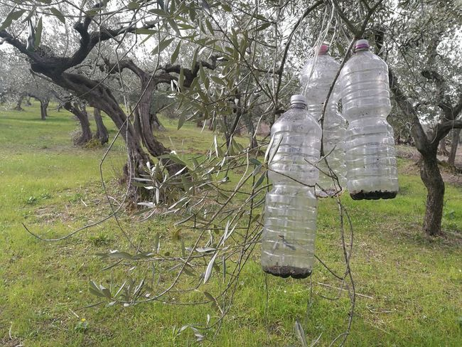 insect traps Bio Bottles Catch Catcher Ecological Insects  Olive Olive Tree Predators Trap Trees