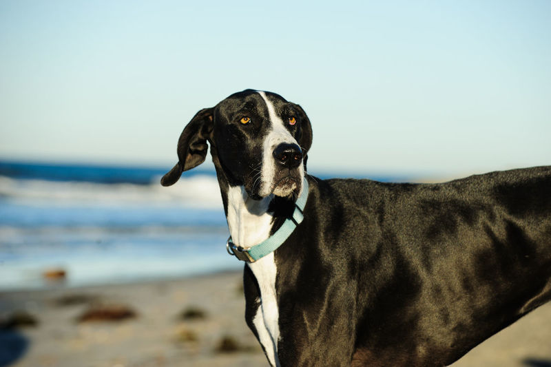Close-up of great dane at beach against clear sky